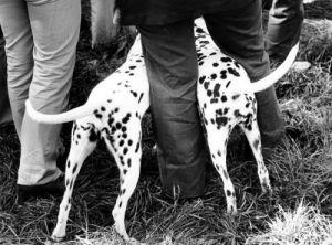 Curious dalmatians by Frantisek Dostal