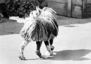 Dog with a wierd haircut by Gerd Pfeiffer