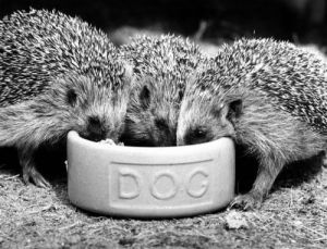 Hedgehogs Eating by Walter Sittig