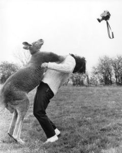Kangaroo punches a photographer by John Drysdale