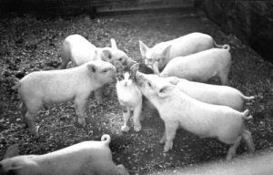 Piglets sniffing a kitten by Anatolij Panin