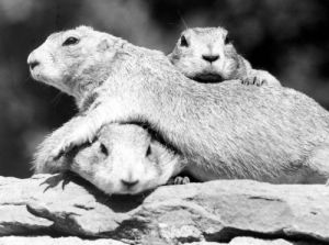 Three Marmots I by Walter Sittig