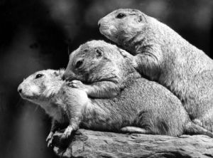Three Marmots II by Walter Sittig