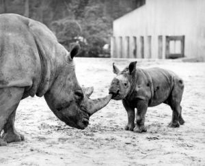 Rhino with baby by Walter Sittig