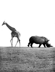 Giraffe and Rhino by Walter Sittig