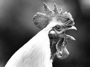 White cockerel by Walter Sittig