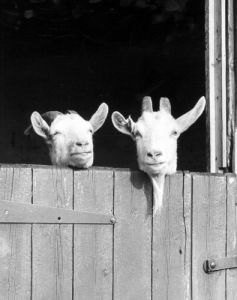 Goats looking out of their stall by Miller & Gelderen