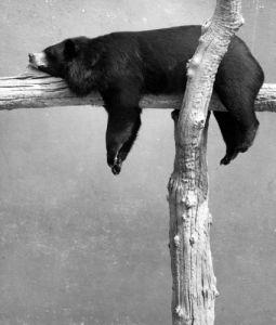 Brown bear sleeping on a branch by Walter Sittig