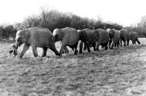 Little girl leads a row of elephants by John Drysdale