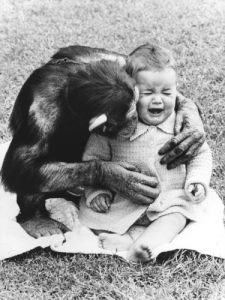 Chimpanzee comforting a child by John Drysdale