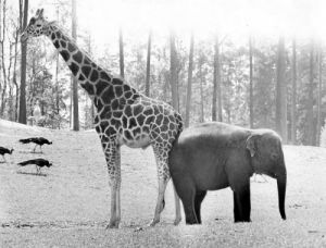 Elephant and giraffe by Walter Sittig