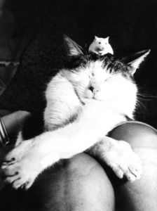 Mouse on the head of a sleeping cat by Keystone