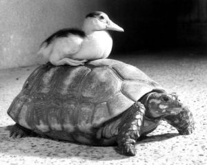 Duck sits on a tortoise by John Drysdale