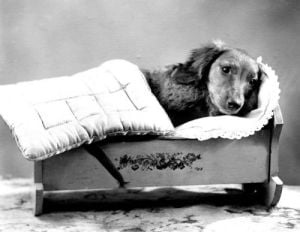 Dachshund in a cradle by Anonymous