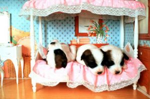 Puppies in a doll's bed by John Drysdale