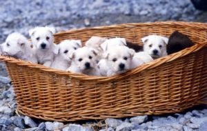 Litter of puppies in a basket by Gerd Pfeiffer
