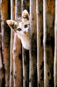 Kitten peeks through fence by Franz Gradwohl