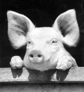 Piglet looking out of his stall by Walter Sittig