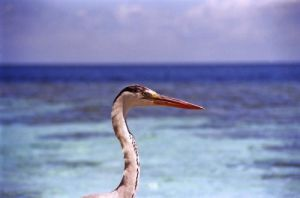 Maldives heron by Rosseforp