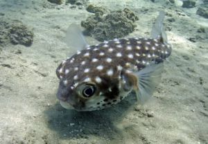 Boxfish, Red Sea by Heinz Krimmer