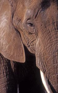Portrait of elephant by Rosseforp