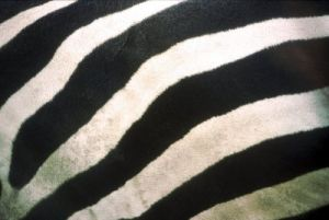 Zebra stripes by Rosseforp