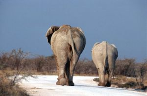 Elephants by Berndt Fischer