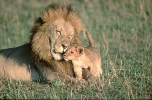 Lion cub with father by Berndt Fischer