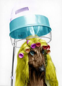 Afghan hound at the hairdressers by Regine Will