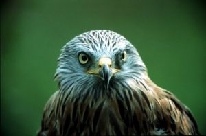 Head of an eagle by Berndt Fischer