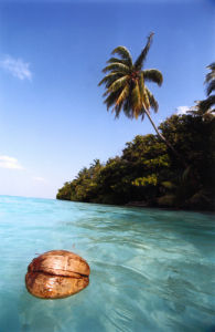 Floating coconut, Maldive Islands by Heinz Krimmer