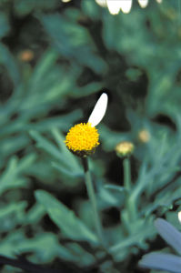 Marguerite by Rosseforp