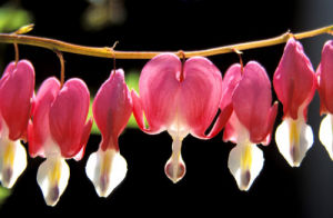Bleeding Hearts by Rosseforp