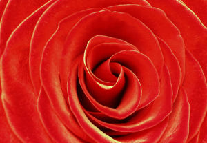 Red rose by Rosseforp
