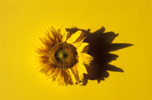 Sunflower by Rosseforp