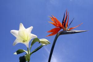 Paradise Flower I by Rosseforp