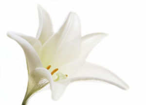 White Lily by Rosseforp