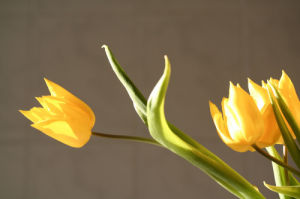 Yellow tulip by Rosseforp