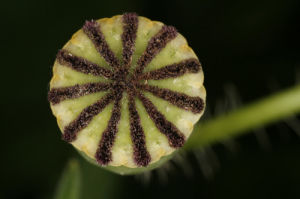 Close-up of a poppy seed head by Rosseforp