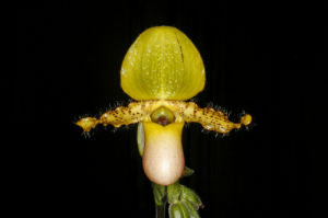 Slipper orchid by Rosseforp