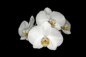 White Moth orchid by Rosseforp
