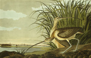 Male And Female Long Billed Curlew with The City Of Charleston Behind by John James Audubon
