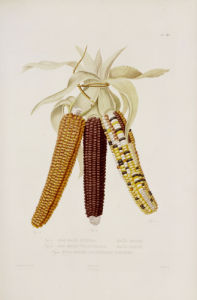 Marbled, Red And Multicoloured Maize by Christie's Images