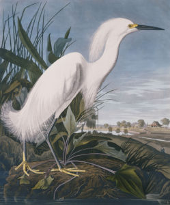 Snowy Heron, or White Egret, Rice Plantation, South Carolina, 1827 by Christie's Images