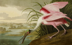 Roseate Spoonbill (Platalea Ajaja). The Birds Of America From Original Drawings by John James Audubon