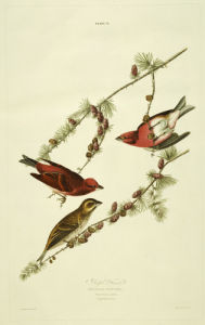 Purple Finch, The Birds Of America, From Original Drawings by John James Audubon