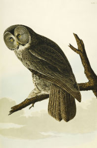 Great Cinereous Owl.'The Birds Of America', From Original Drawings by John James Audubon