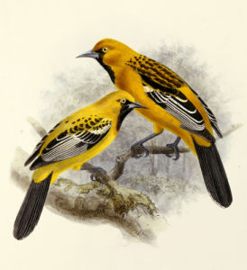 Ecuadorian Cacique and an Orange Oriole. Icterus Sclateri by Johannes Gerardus Keulemans