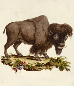 A Bison, 1771 by Christie's Images