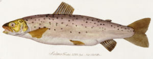 A Salmon. From 'Icones Piscium Austriae Indogenorum', 1785 by Baron Carl Von Meidinger